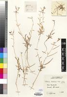 Holotype of Matthiola puntensis Hedge & A. G. Mill. [family CRUCIFERAE]