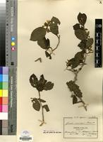 Isotype of Grewia crassipes Burret [family MALVACEAE]