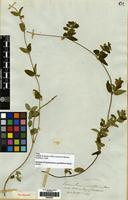 Syntype of Cynanchum myrtifolium Hook. & Arn. [family APOCYNACEAE]