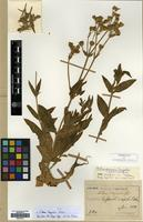 Type of Silene taquetii H.Lev. [family CARYOPHYLLACEAE]