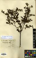 Filed as Ilex asprella (Hook. & Arn.) Champ. ex Benth. [family AQUIFOLIACEAE]