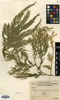 Type of Selaginella gastrophylla Warb. [family SELAGINELLACEAE]