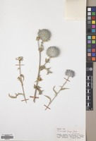 Filed as Echinops pungens Trautv. var. pungens [family COMPOSITAE]