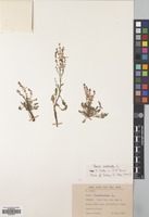 Filed as Rumex acetosella L. [family POLYGONACEAE]
