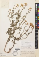 Filed as Cota altissima (L.) J.Gay [family COMPOSITAE]