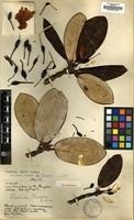 Holotype of Rhododendron clementinae Forrest [family ERICACEAE]