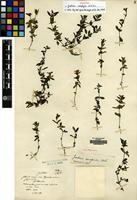 Holotype of Justicia xerophila W.W.Sm. [family ACANTHACEAE]