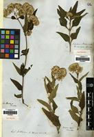 Syntype of Eupatorium paranense Hook. & Arn. [family COMPOSITAE]