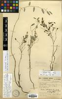 Isotype of Smilax nana F.T. Wang [family SMILACACEAE]