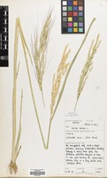 Filed as Oryza sativa L. [family GRAMINEAE]