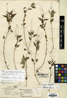 Holotype of Circaea imaicola (Asch. & Magn.) Hand.-Mazz. var. angustifolia Hand.-Mazz. [family ONAGRACEAE]