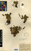 Isotype of Anemone geum H.Lev. [family RANUNCULACEAE]