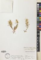 Filed as Centaurea pseudosinaica Czerep. subsp. niebuhrii Wagenitz [family COMPOSITAE]