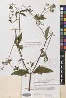 Filed as Sigesbeckia orientalis L. [family COMPOSITAE]