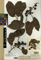 Isolectotype of Scepa lindleyana Wight [family PHYLLANTHACEAE]