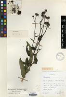 Holotype of Brachythrix sonchoides Wild&Pope [family COMPOSITAE]