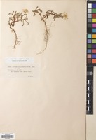 Filed as Cladanthus mixtus (L.) Chevall. [family COMPOSITAE]