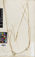 Filed as Elymus pungens (Pers.) Melderis [family GRAMINEAE]