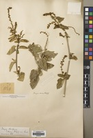 Filed as Tragia balfouriana J.B.Gillett ex G.B.Popov [family EUPHORBIACEAE]