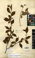 Isotype of Cotoneaster ambiguus Rehder & E.H.Wilson [family ROSACEAE]
