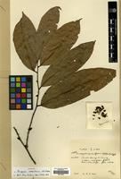 Type of Diospyros scalariformis H.R. Fletcher [family EBENACEAE]
