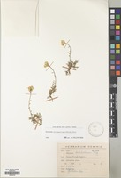 Filed as Erysimum pulchellum (Willd.) Y. Gay. [family CRUCIFERAE]