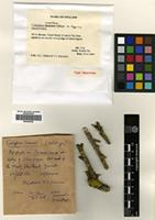 Holotype of Caloplaca suaedae Gilbert & Coppins [family TELOSCHISTACEAE]