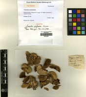 Holotype of Trametes polyblastes Corner [family CORIOLACEAE]