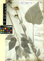 Filed as Helianthus argophyllus Torr. & A. Gray [family COMPOSITAE]