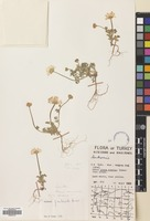 Filed as Anthemis fimbriata Boiss. [family COMPOSITAE]