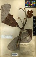 Holotype of Rhododendron sinogrande Balf.f. & W.W.Sm. var. boreale Tagg & Forrest [family ERICACEAE]