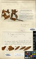 Isotype of Rhododendron ningyuenense Hand.-Mazz. [family ERICACEAE]