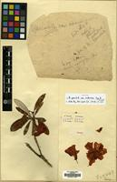 Isotype of Rhododendron sperabile Balf.f. & Farrer var. weihsiense Tagg & Forrest [family ERICACEAE]