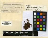 Isotype of Lepidozia serpens Spruce [family LEPIDOZIACEAE]