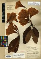 Holotype of Rhododendron rasile Balf.f. & W.W.Sm. [family ERICACEAE]
