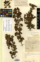 Holotype of Crataegus stephanostyla H.Lév. & Vaniot [family ROSACEAE]