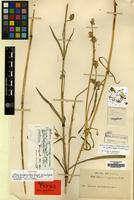 Holotype of Silene gonosperma (Rupr.) Bocquet ssp. himalayensis (Rohrb.) Bocquet [family CARYOPHYLLACEAE]