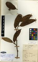 Syntype of Ficus duclouxii H. Lev. & Vaniot [family MORACEAE]