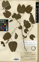 Isotype of Bauhinia laui Merr. [family LEGUMINOSAE]