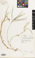 Filed as Digitaria sanguinalis (L.) Scop. [family GRAMINEAE]