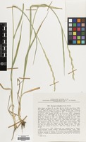 Filed as Elymus hispidus (Opiz) Melderis subsp. barbulatus (Schur) Melderis [family GRAMINEAE]