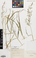 Filed as Eragrostis cilianensis (All.) Vignolo ex Janch. [family GRAMINEAE]
