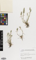 Filed as Hordeum geniculatum All. [family GRAMINEAE]