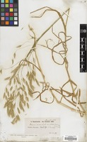 Filed as Bromus arvensis L. [family GRAMINEAE]