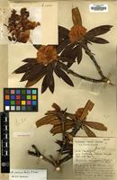Holotype of Rhododendron aischropeplum Balf.f. & Forrest [family ERICACEAE]