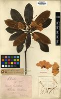 Holotype of Rhododendron paradoxum Balf.f. [family ERICACEAE]