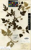 Holotype of Rubus illudens H.Lev. [family ROSACEAE]
