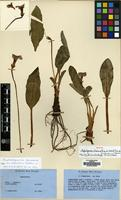 Isotype of Omphalogramma elwesianum (King ex G.Watt) Franch. var. assamicum H.R.Fletcher [family PRIMULACEAE]