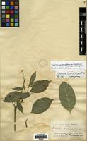 Isotype of Coussarea benenensis Britton ex Standl. [family RUBIACEAE]