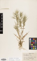 Filed as Bromus tectorum L. subsp. tectorum [family GRAMINEAE]